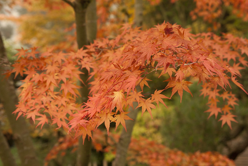 closeup of maple foliage