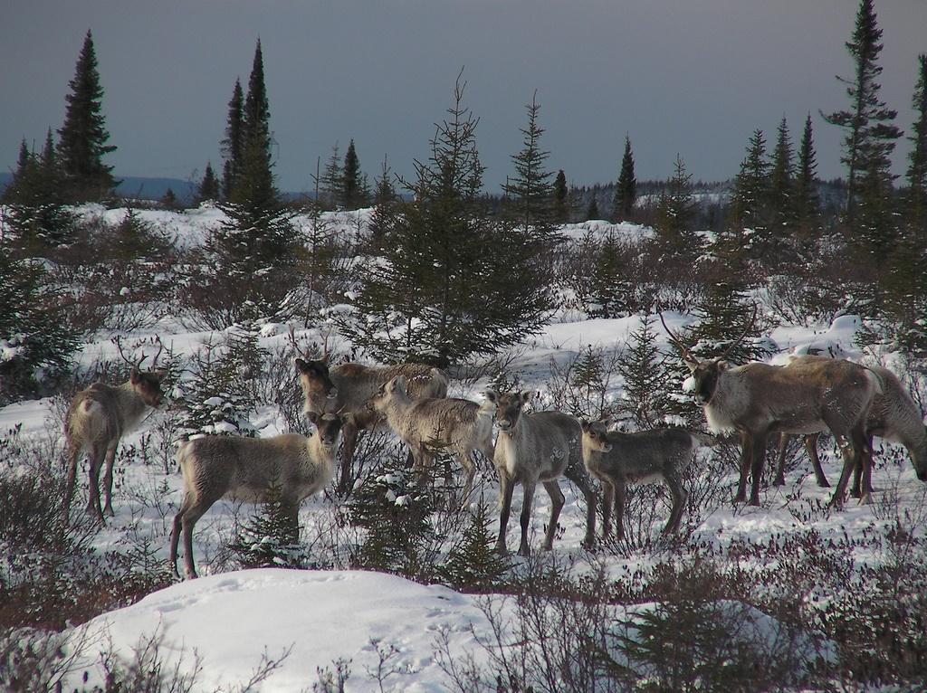 2. Familia de renos. Autor, Peupleloup