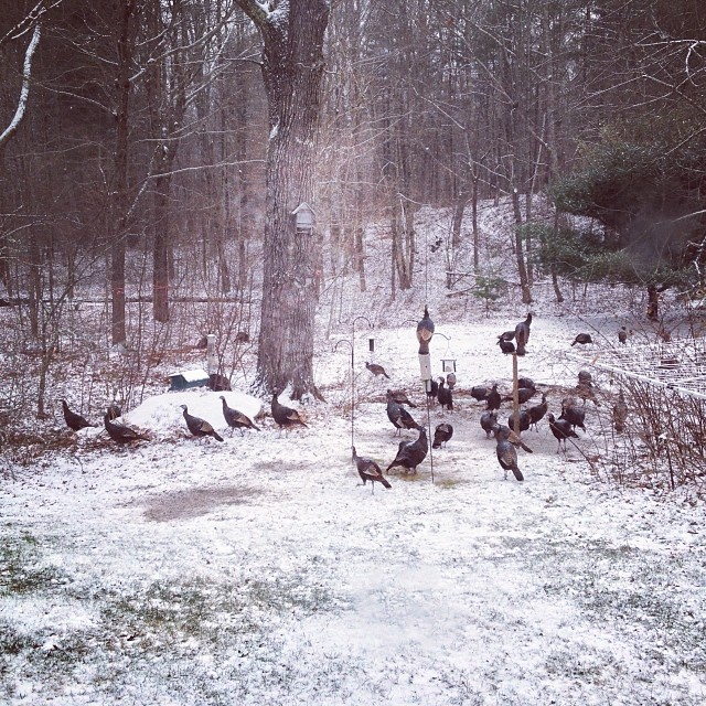 Turkeygram: part III - there are about 30 in this photo and about 50 total, scattered through the trees and down by the brook. They've brought friends. #wildlife #farmlife #maine #snow