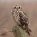 Short-eared Owl A.Dancy cr 22nd February 2011 (2) 180a by Adrian Dancy