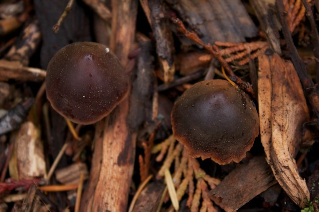 Brown Mushrooms and Woodchips