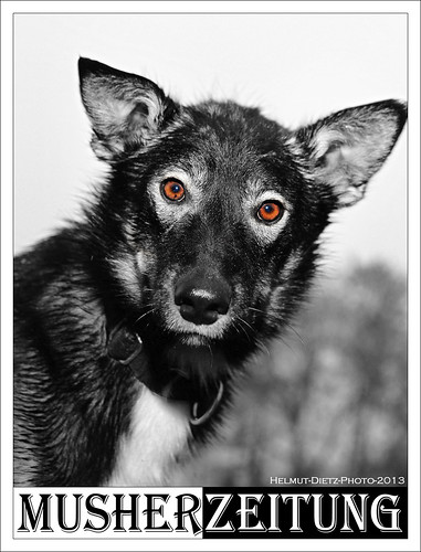 Schlittenhundenachwuchs aus ALASKA in Sassenberg-Füchtorf. Sein Name: YODA.