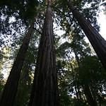 More redwoods