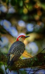 South Carolina Red-bellied Woodpecker