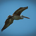 bird_in_flight_1
