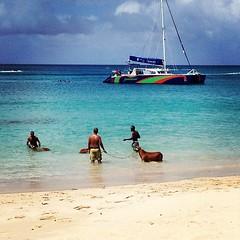 Black Belly Sheep enjoying their Sunday!!!  #barbados #beach #caribbean #paradise #turquoise #sea #islandlife #boat #catamaran #sail