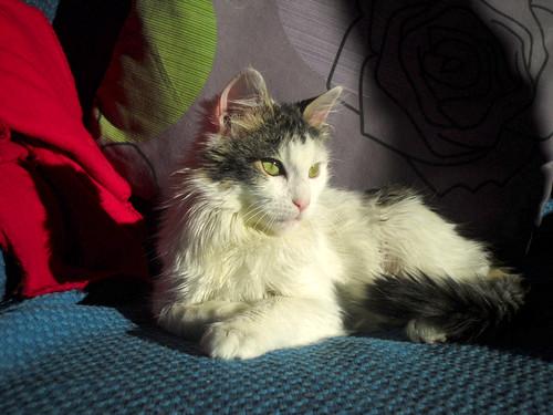 Neus, gata blanca cruce Van Turco pelo largo nacida en Julio´13 en adopción. Valencia. ADOPTADA. 12383933884_d83080f1a1