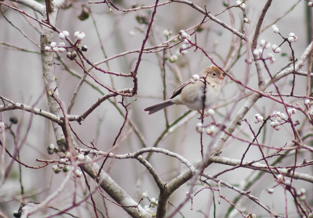 Field Sparrow in   Winter Branches