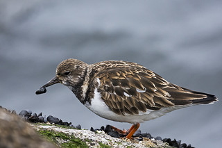 Barnegat Lighthouse: Ruddy Turnstone Snacking
