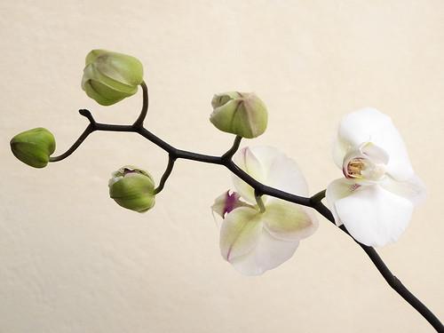 orchidea_Chieri2014_P2170967 copia