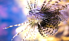Deadly Gliding Lionfish