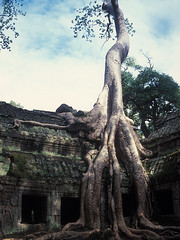 Ta Prohm - Giant Roof Tree
