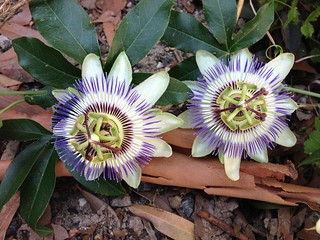 Blue Passionfruit Flowers
