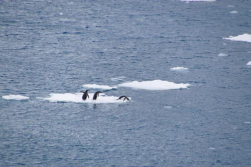 618 Ezelspinguins op ijs
