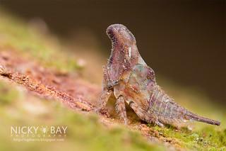 Treehopper (Membracidae) - DSC_7557