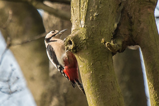 F Great Spotted Woodpecker-4646