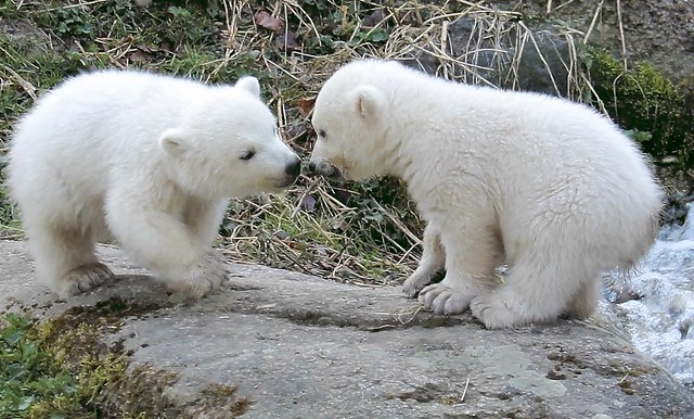 Eisbärzwillinge in Hellabrunn