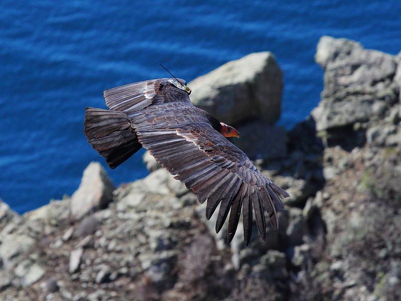 IMG_5437 California Condor, Big Sur, CA