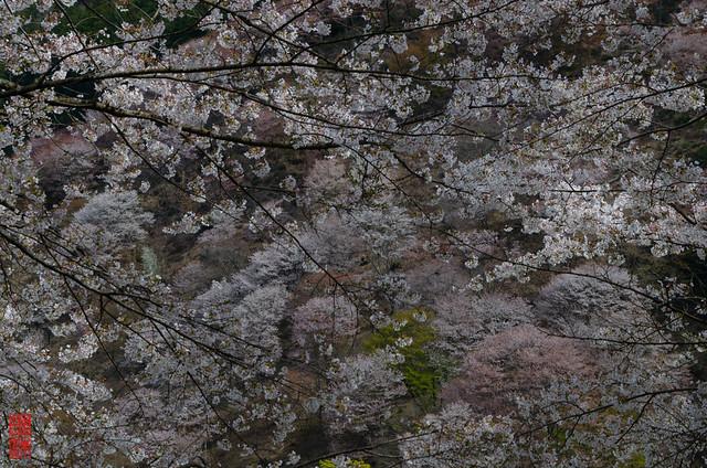 「絢爛」 吉野山 - 奈良