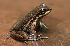 animal, amphibian, toad, frog, macro photography, fauna, close-up, ranidae, wildlife,
