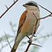 Small photo of Red-backed Shrike (Lanius collurio) male