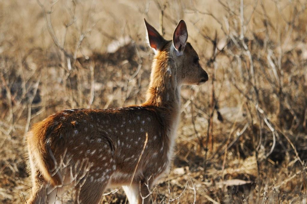 Bambi_g