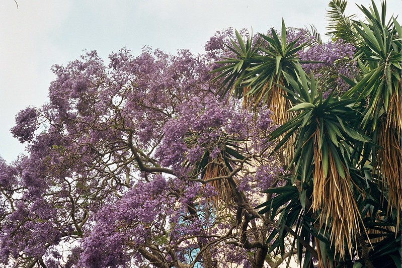 Jacaranda time in Sydney