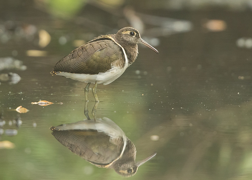 Greater Painted Snipe Gambia