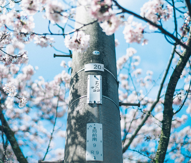 2.Cherry Blossoms.