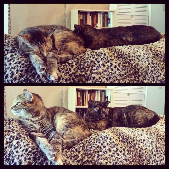Sisters #cats #torties #tortiecats #torbies #torbiecat