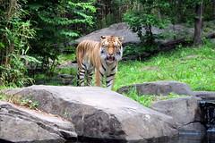 Bronx Zoo - Tiger Pavilion.