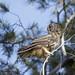 Long-eared Owl by raineys