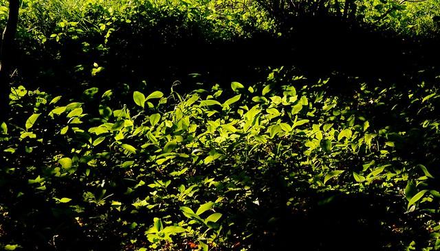 Leuchten im Gegenlicht - Maiglöckchen (Convallaria majalis); Bergenhusen, Stapelholm (3)