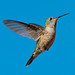 The Broad-tailed Hummingbird (female) in Flight by mharoldsewell