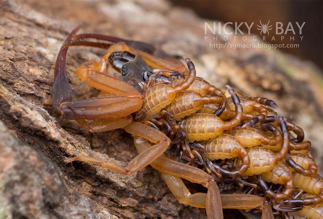 Scorpion (Lychas scutilus) - DSC_1323