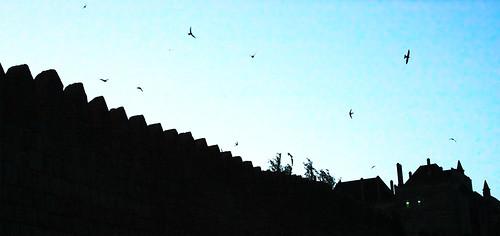 Andorinhão-preto (Apus apus)