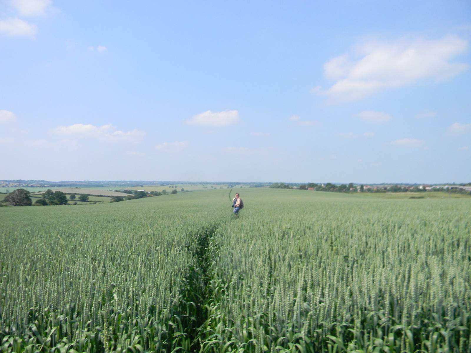 A wheat field South Woodham Ferrers to North Fambridge