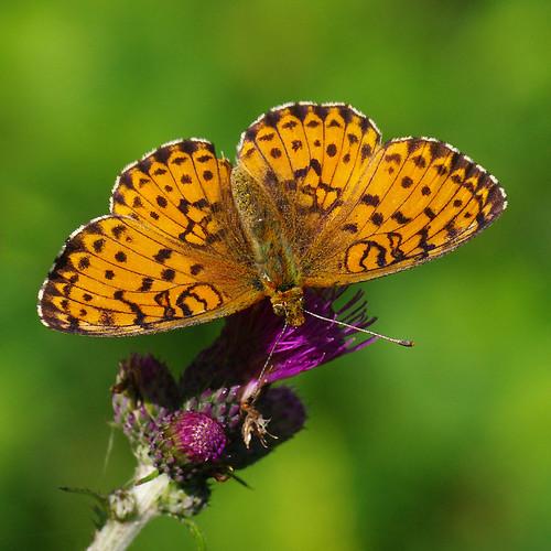 fauna butterfly estonia pentax eesti k7 liblikas brenthisino pentaxk7 luhatäpik