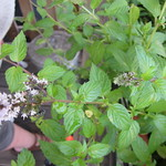 spearmint planting in Back Porch Herb Garden by mamagotcha