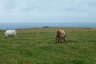Bénouville, vaches au bord de la falaise
