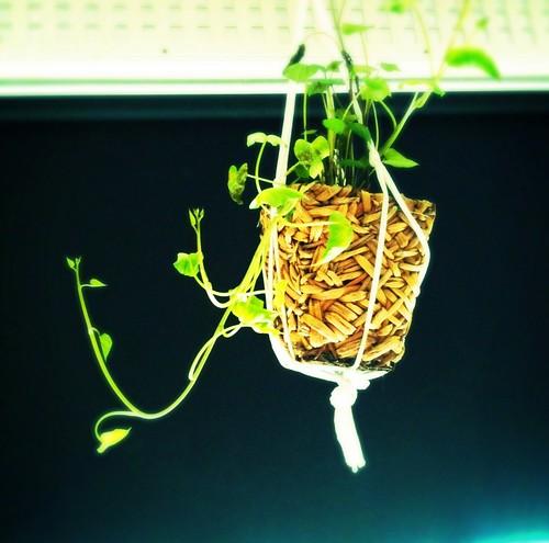 Sweet potato vines II