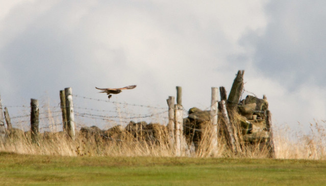 Kestrel, Baildon Moor