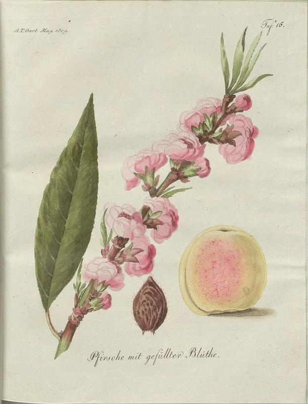 Pfirsche mit gefüllter Blüthe (hand-coloured botanical engraving courtesy kulturerbe niedersachsen)