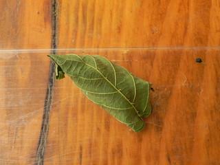 Lasiocampa quercus=Le Minime à bandes jaunes (cocon) (2)