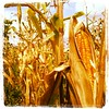 Corn & Gold