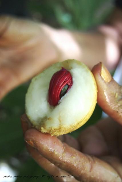 Fresh nutmeg at Jardin du Roi - Anse Royale, Mahé Island