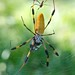 Small photo of Hickory Hammock Golden-silk Orb Weaver