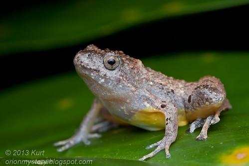 Berdmorei's Chorus Frog (Microhyla berdmorei) IMG_2168 Copy
