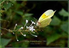 White-Angled Sulphur Texas Butterfly photography by Ron Birrell,  DSC_7562