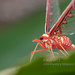 Red Derbid planthopper IMG_4370 copy by Kurt (OrionHerpAdventure.com)
